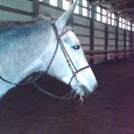 Tillie the Mule, owned by Judy White